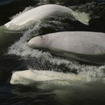 Snorkeling with Belugas in the Arctic